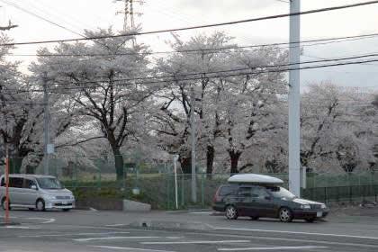 沼田120号沿いの桜