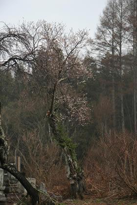藤原の桜の様子