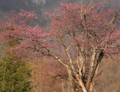 2009年4月27日宝台樹白樺コースの桜
