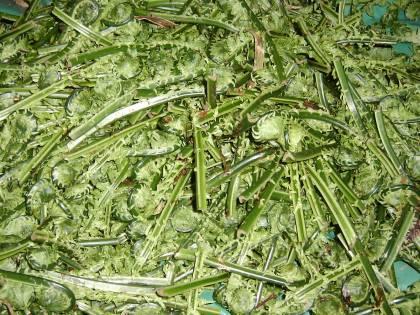 山菜のこごみの画像