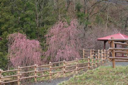 諏訪神社の枝垂桜 (しだれざくら)