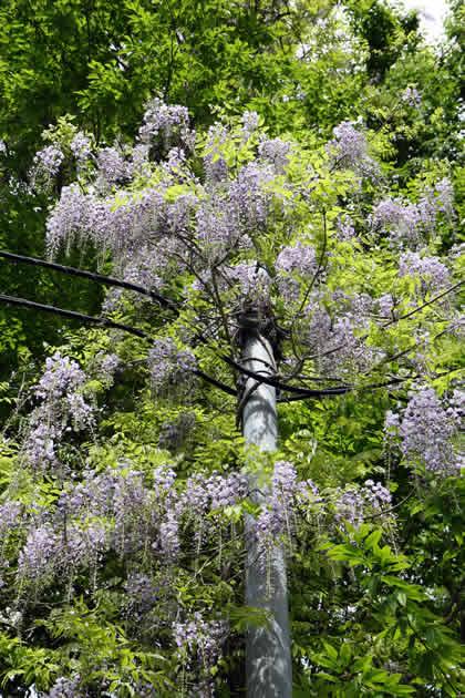 電柱に巻きついているフジの花です2009年5月25日撮影