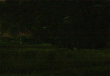 2008年8月6日撮影ホタル