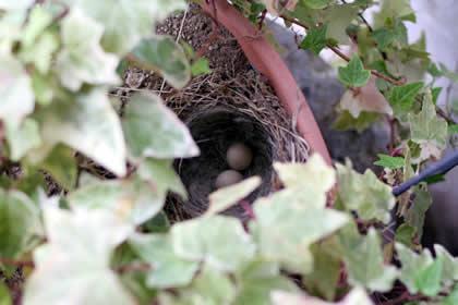 吉野屋庭の花壇に出来たセキレイの巣