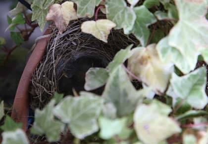 吉野屋庭で孵化したセキレイ