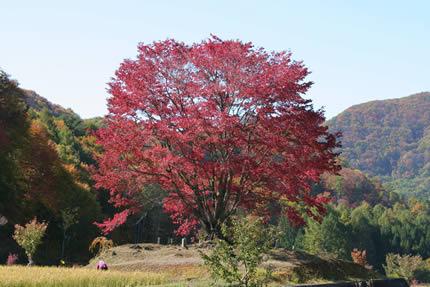 明川千本桜